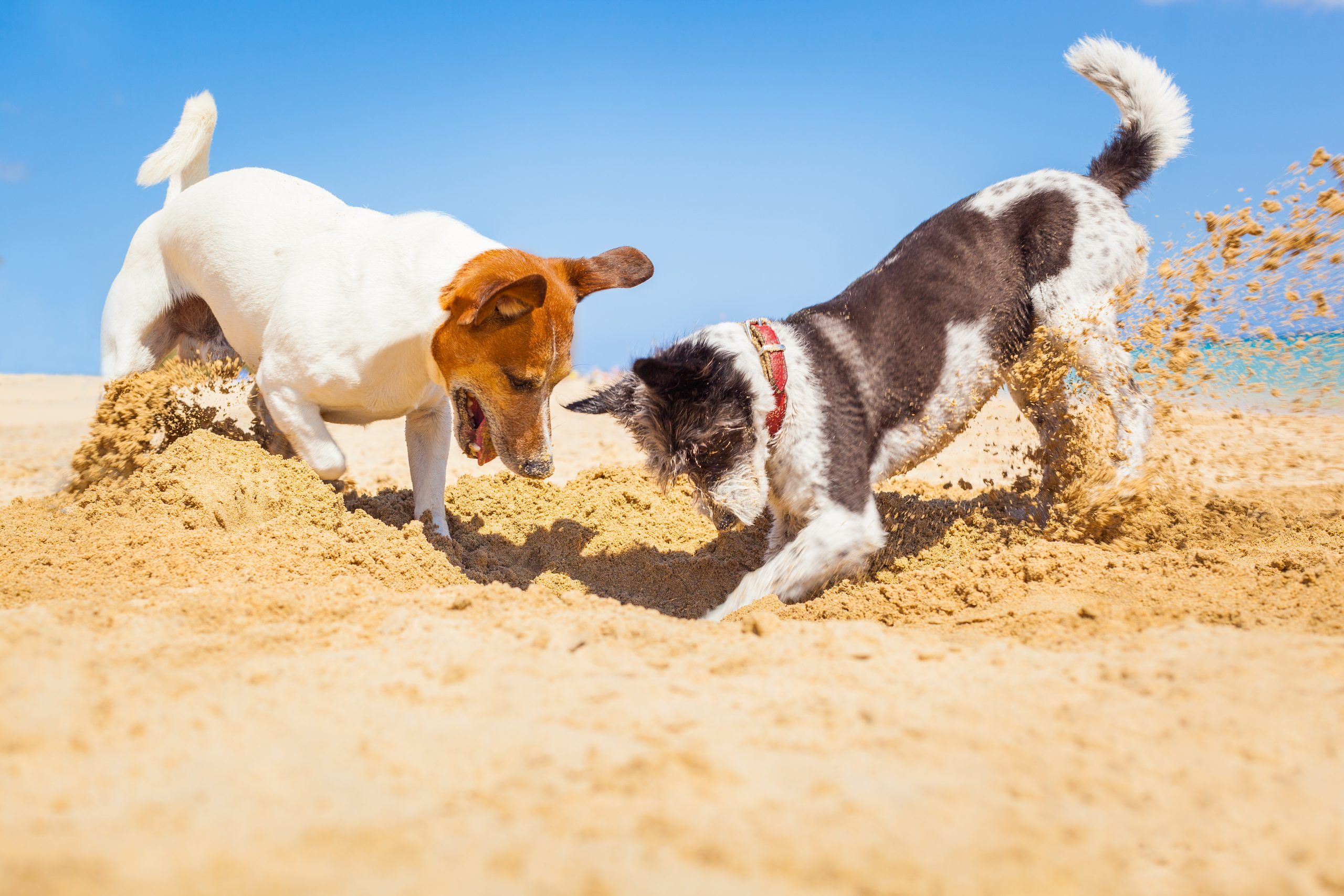 dogs digging a hole at baech